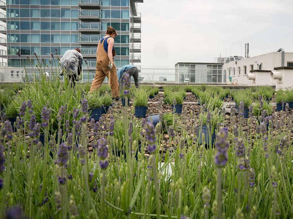 Bijenkorf Lavender Garden 📷 Frank Hanswijk